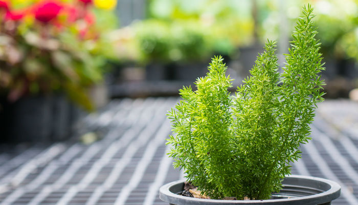 Can Cats Eat Asparagus Fern